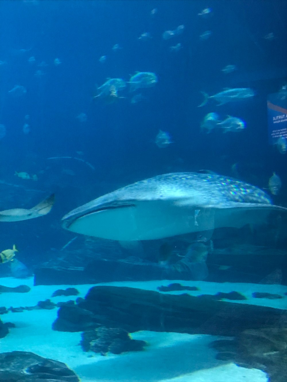 four whale sharks, four manta rays, and thousands